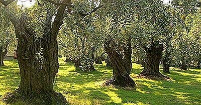 Principali Paesi Produttori Di Olive