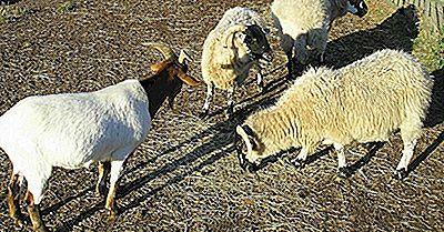Primi 10 Esportatori Di Carne Di Capra E Di Pecora