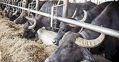 Leite De Búfalo Superior Produzindo Países No Mundo