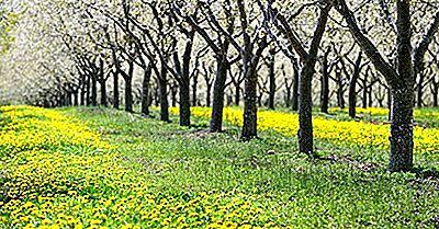 ¿Dónde Crecen Las Cerezas?