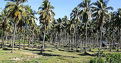 Verdensledere I Kokosproduksjon