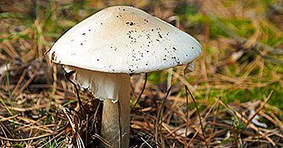 10 Der Tödlichsten Pilze Der Welt
