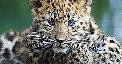 10 Av Världens Mest Utrotningshotade Djurarter