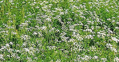 10 Plantas Venenosas Encontradas En Los Estados Unidos