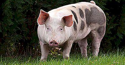 As 10 Espécies De Porcos