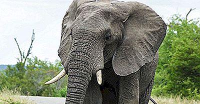 Fatti Dell'Elefante Africano: Animali D'Africa
