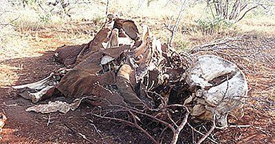 Taxas Alarmantes De Caça Furtiva De Elefante Na África