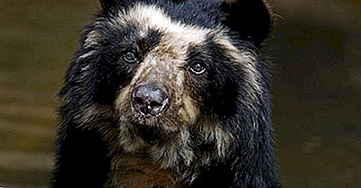 All About The Spectacled Bear, L'Unica Specie Di Orso Del Sud America