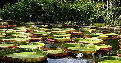Hechos Asombrosos Sobre Victoria Amazonica