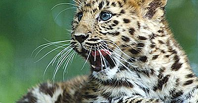 Amour Leopard Facts - Animaux D'Eurasie