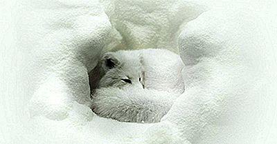 Arctic Fox Fapte: Animalele Din Arctica