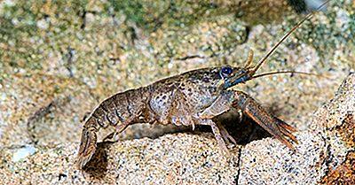 Sunt Insecte Și Crustacee Înrudite?