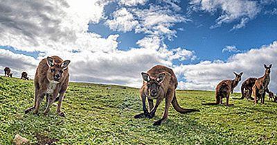 Finns Känguruer Bara I Australien?