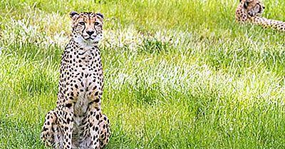 Asiatische Gepard-Tatsachen - Tiere Von Iran