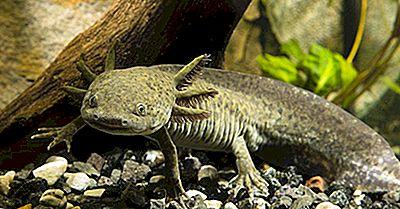 Faits Axolotl - Animaux D'Amérique Du Sud