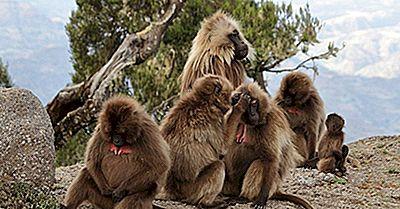 Babbuino - Animali Unici Del Mondo