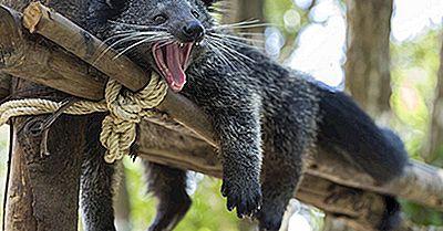 Fatti Di Bearcat - Animali Dell'Asia