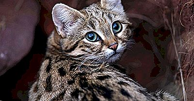 Black-Footed Cat Facts: Dyr I Afrika