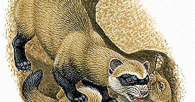 Svarta Fotade Ferret Fakta: Djur I Nordamerika