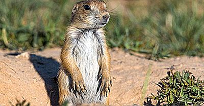 Black-Tailed Prairie Dog: Animali Del Nord America