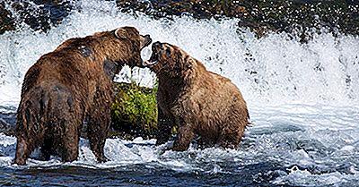 Brown Bear Facts: Tiere Von Nordamerika