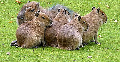 Fatos Da Capivara: Animais Da América Do Sul