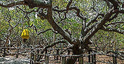 Cashew-Baum Von Pirangi - Naturwunder Von Südamerika