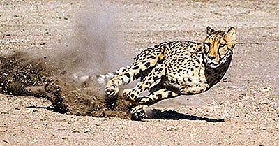 Cheetah Population Worldwide: Fatos Importantes E Figuras