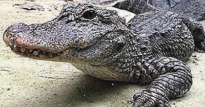 Fatti Di Alligatore Cinese - Animali Dell'Asia