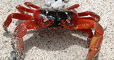 Christmas Island Red Crabs - Animais Da Oceania