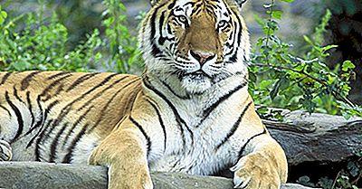 Paesi Con Il Maggior Numero Di Tigri Selvatiche