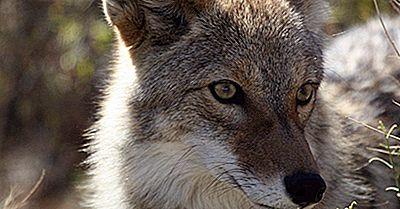 Fapte Despre Coiote: Animale Din America De Nord