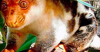 Kritisk Truede Dyrearter Af Papua Ny Guinea