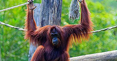 Primati Dell'Asia In Via Di Estinzione