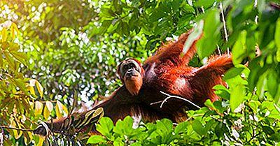 Espèces Et Sous-Espèces En Danger Critique D'Extinction Pour Les Grands Singes