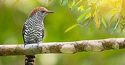 Cuckoo Birds - Animales Del Mundo