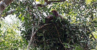 Vidste Du, At Nogle Primater Byggede Reden?