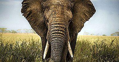 As Diferenças Entre Um Elefante Asiático E Um Elefante Africano