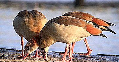 Especie De Aves Nativas De Egipto