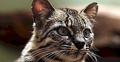 As Oito Espécies De Gatos Do Gênero Leopardus