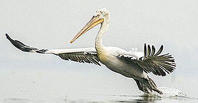 Cele Opt Specii Extinse De Pelicani