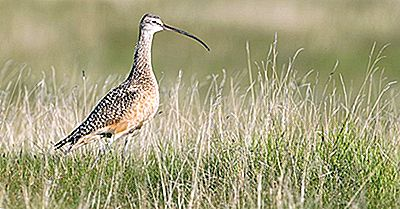 The Eight Species Of Curlews