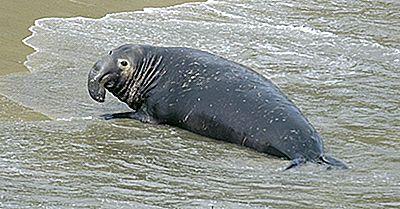 Elefant Sigiliile De Sigiliu - Animalele Oceanelor