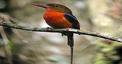 Endemiska Fågel Av Papua Nya Guinea
