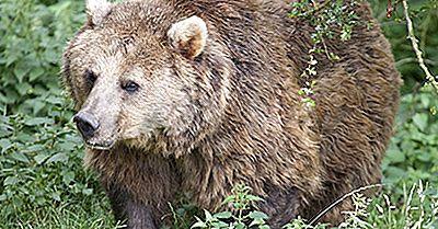 Eurasian Bear Facts: Tiere Europas