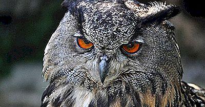 Datos Del Búho Real De Eurasia: Animales De Europa