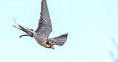 Les Oiseaux Les Plus Rapides Du Monde
