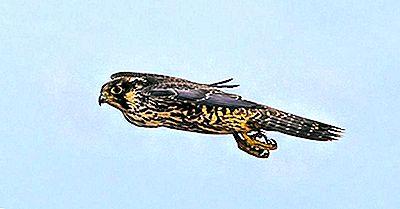 Las Aves Voladoras Más Rápidas Del Mundo