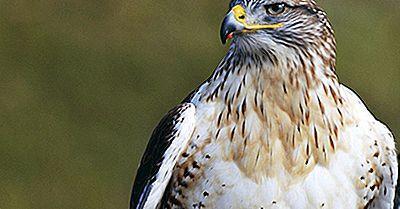 Halcón Ferruginoso: Animales De América Del Norte