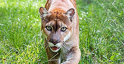 Faits Sur La Panthère En Floride: Animaux D'Amérique Du Nord